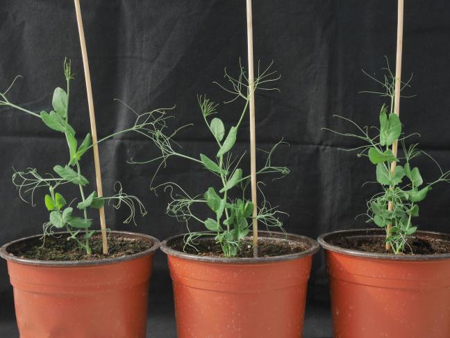 Mutants de pois hyper-ramifiés déficients en strigolactones et la plante sauvage non ramifiée (plante de gauche)