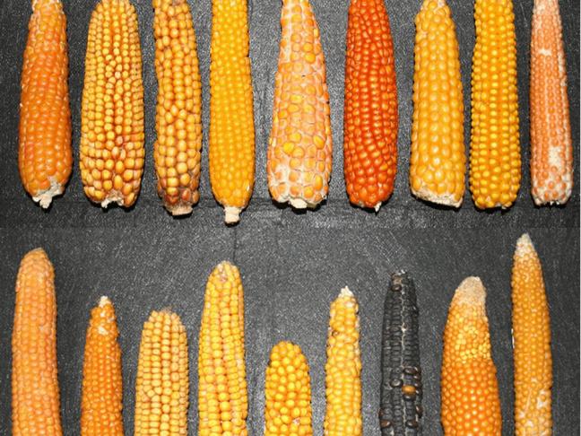 Phenotype d'épis de maïs représentatif de sa diversité en Europe et en Amérique