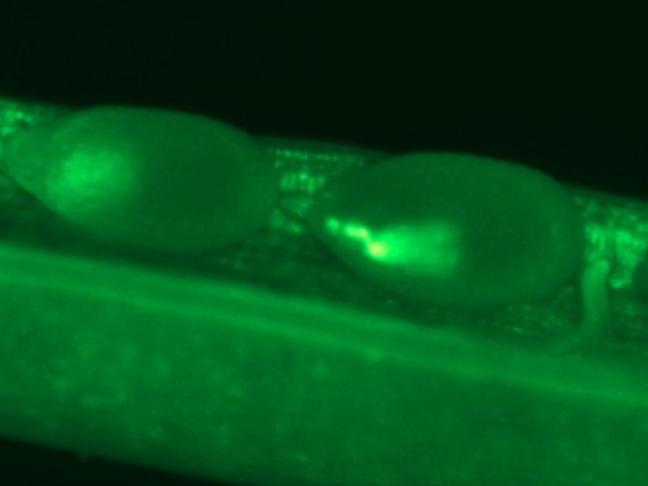 Expression d'une glutamine synthetase au cours de l'embryogénèse