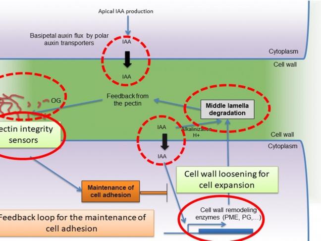 Représentation schématique des mécanismes de contrôle de l'adhésion cellulaire identifiés par l'équipe