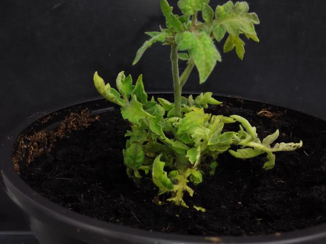 Plants de tomate après transformation
