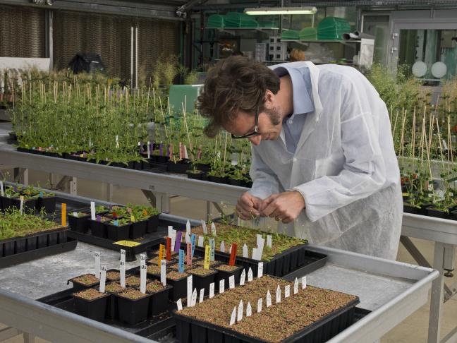 La plante modèle Arabidopsis en serre