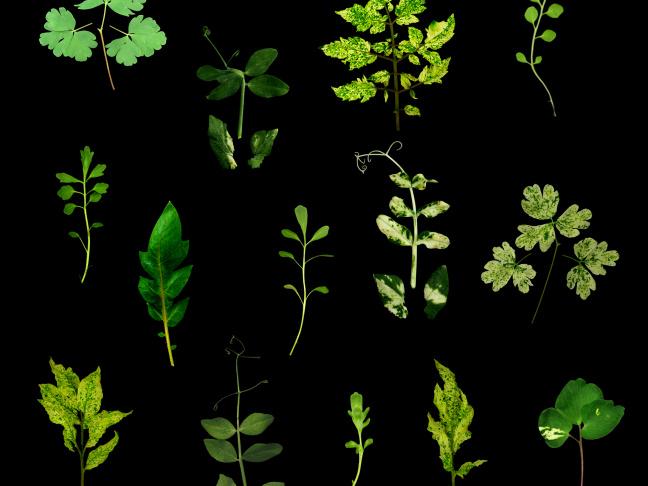 Diversité de la morphologie foliaire