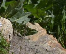 Arabidopsis sauvages (sèches)