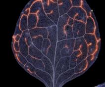 Architecture des nervures dans une feuille d'Arabidopsis. Les veines mineures sont marquées par une coloration rose (images en fausses couleurs)