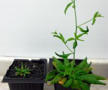 Etude de la croissance de mutants d'Arabidopsis dérégulés dans le transport des sucres