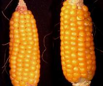 Epis de maïs surexprimant la glutamine synthétase cytosolique