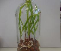 Système gnotobiotique pour étudier les interactions plantes-microorganismes