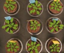 Plantes d'A. thaliana cultivées en fort (étiquettes bleues) ou faible (étiquettes jaunes) nitrate