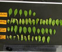 Symptômes provoqués par E. amylovora sur A. thaliana