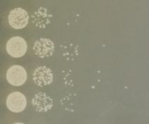 Dénombrement de bactéries dans les feuilles après dépôt sur boite de Pétri