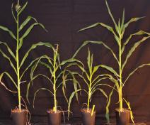 Nanisme et retard de croissance des 2 mutants eskimo1 de maïs par rapport aux plantes sauvages