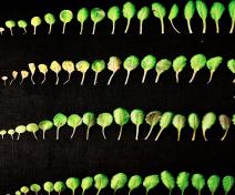 Cinétique de sénescence foliaire