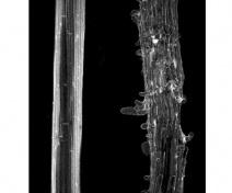 Altération de l'adhésion cellulaire dans l'hypocotyle d'un mutant d'Arabidopsis