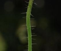 Inflorescence d'un mutant dépourvu de fleur (pin1)