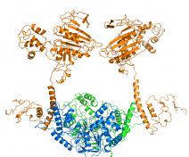 Structure hypothétique du complexe protéique responsable de l'initiation de la recombinaison méiotique. Copyright: Claudine Mayer