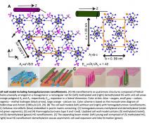 Modèle pour la paroi végétale comprenant des nanofilaments d'homogalacturonane