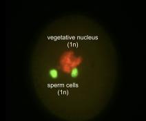 Grain de pollen d'Arabidopsis