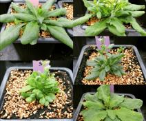 identification of mutants (A. thaliana)