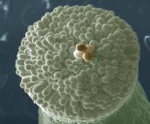 A pollen grain tetrad on top of a pistil (A. thaliana)