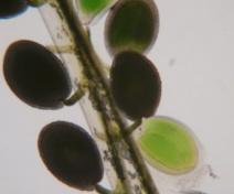 Graines d'Arabidopsis