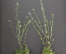 Arabidopsis fertile (left) and male-sterile (right) plants