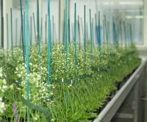 Culture d'Arabidopsis thaliana en serre