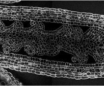 Pistil d'Arabidopsis  thaliana (microscopie confocale))