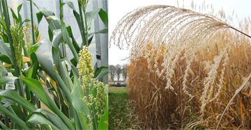 Dans la presse : « Biomass For the Future » développe une production de biomasse durable au service de la bioéconomie